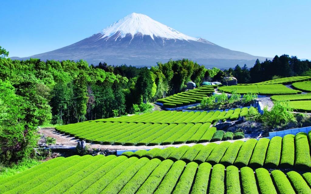 A Fudzsi-hegy vidékén a környezetei adottságok tökéletesek a zöld tea termesztéséhez: a tealevelek tiszta, szennyezésmentes levegőn növekedhetnek, így nagyon egészségesek és jó minőségűek lesznek.