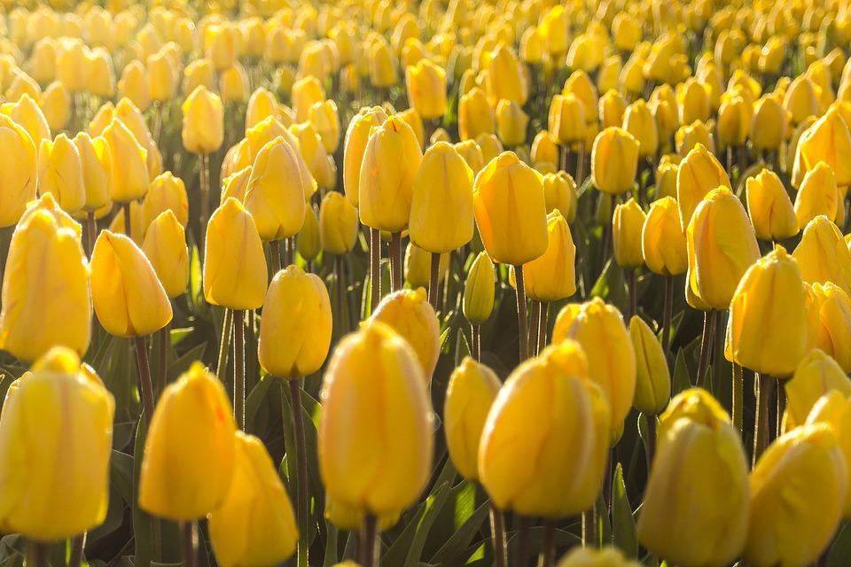 Ha kedvenced a tulipán!