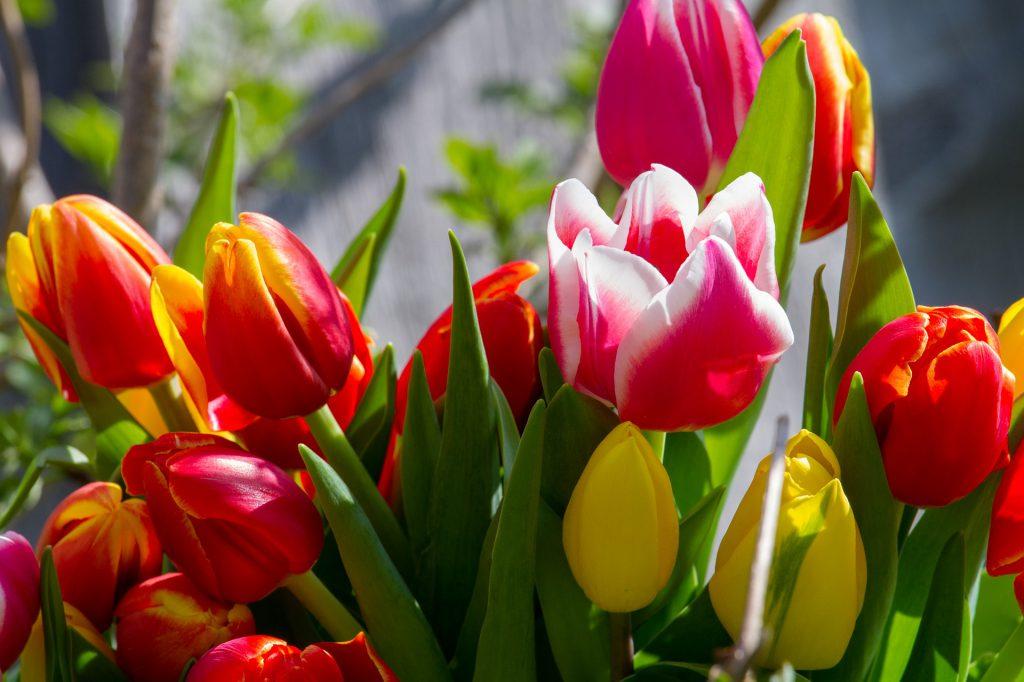 Tulipánszüret