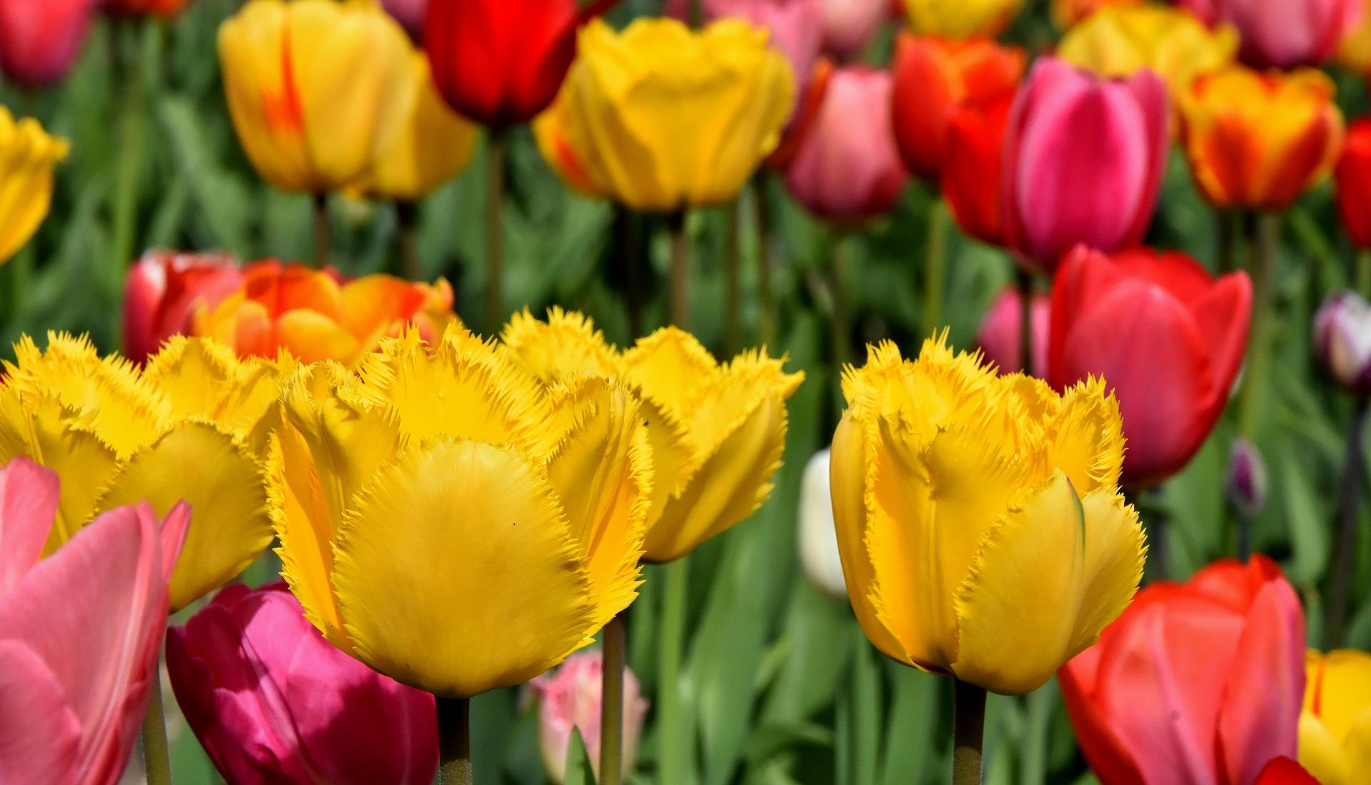 Tulipánszüret Köröshegyen
